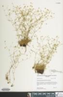 Image of Mononeuria groenlandica