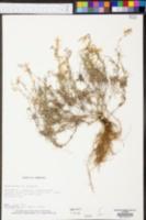Phlox bifida image