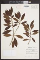 Image of Bumelia salicifolia
