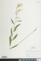 Image of Arabis canadensis