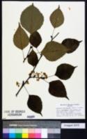 Image of Euptelea pleiosperma