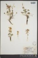 Aquilegia scopulorum subsp. perplexans image