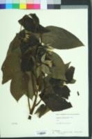 Juglans cathayensis image