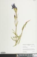 Image of Gentiana autumnalis