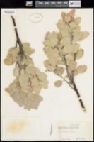 Arctostaphylos candidissima image
