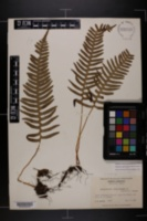 Image of Polypodium appalachianum