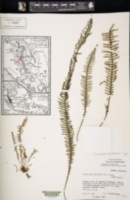Image of Prosaptia obliquata