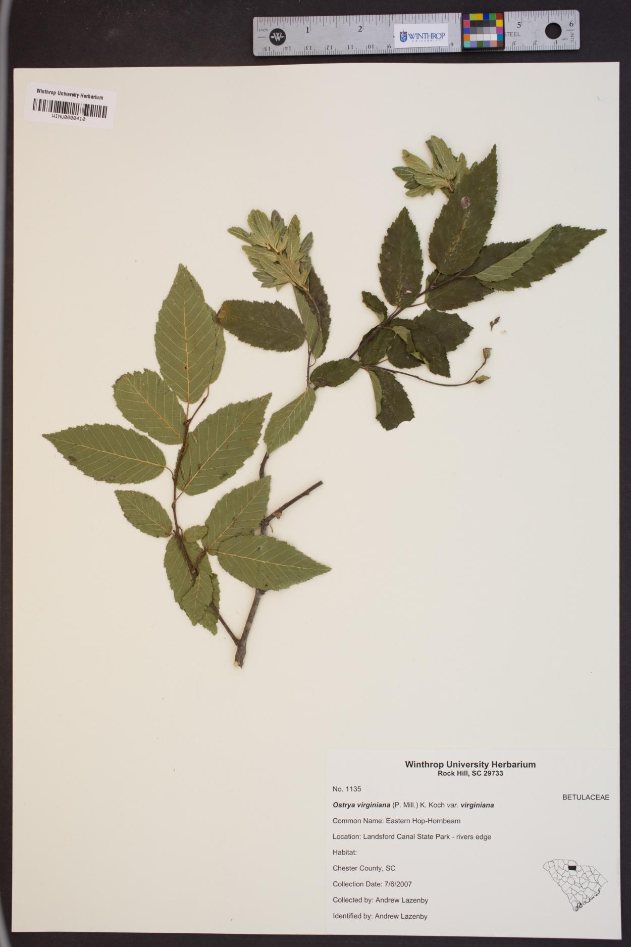 Ostrya virginiana var. virginiana image