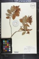 Lyonia fruticosa image