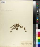 Image of Pogogyne serpylloides