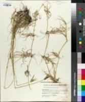 Dactyloctenium geminatum image