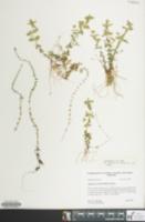Image of Hypericum boreale
