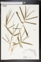 Bambusa multiplex image