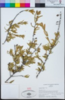 Tetracoccus dioicus image