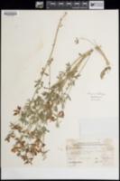 Lotus plebeius image