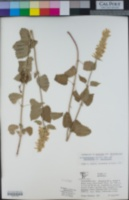 Agastache pallidiflora subsp. pallidiflora image