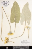 Balsamorhiza sagittata image
