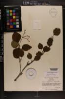 Image of Viburnum alabamense