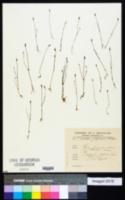 Image of Cicendia filiformis