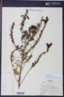 Aureolaria levigata image