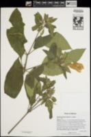Image of Ruellia petiolaris