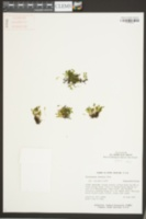 Didymoglossum petersii image