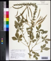 Image of Gynandropsis gynandra