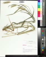 Image of Elymus glabriflorus