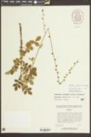 Agrimonia incisa image