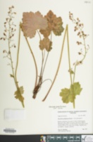 Image of Heuchera alba