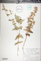 Gentiana quinquefolia var. occidentalis image