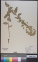 Image of Euphorbia agraria