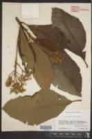 Saurauia scabrida image