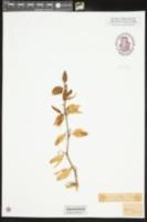 Yucca gloriosa image
