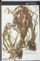 Rhynchospora macrostachya image