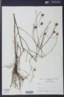 Image of Aster chapmanii