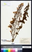 Penstemon spectabilis image
