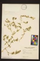 Image of Cerastium dichotomum