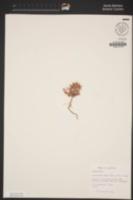 Chorizanthe rigida image