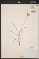 Image of Cyperus rotundus