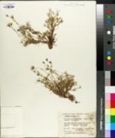 Image of Arenaria arctica
