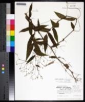 Gibasis pellucida image