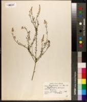 Image of Comesperma ericinum
