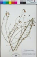 Image of Erigeron foliosus