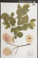 Image of Koelreuteria bipinnata