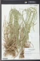 Lolium perenne subsp. multiflorum image