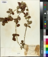 Image of Cassia pilifera