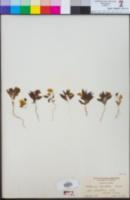 Mohavea breviflora image