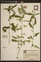 Image of Pavonia hastata