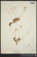 Image of Talinum calcaricum